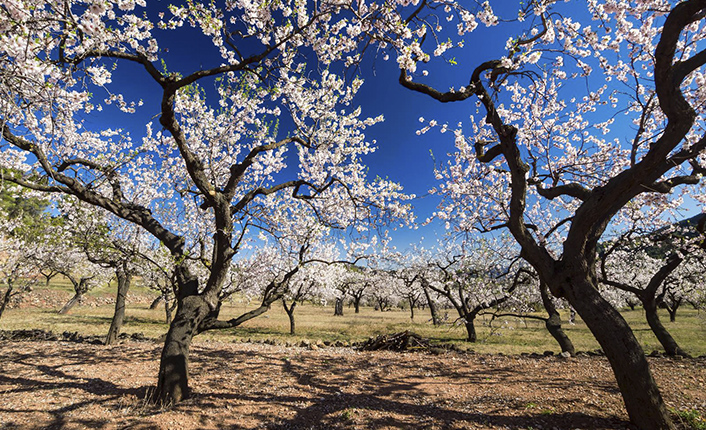Almond blossom walks attract around 1,000